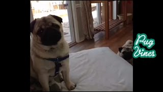 Cute Pugs Vines 0f 2014 Part 3