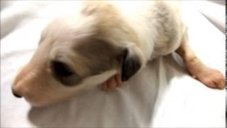 ブリーダーの子犬販売 アイドルドギー お気軽にお問い合わせください! ...