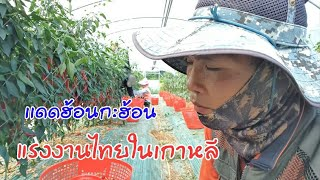 #แรงไทยในเกาหลี ภาคการเกษตรสวนพริกตามไปดูกันครับผม