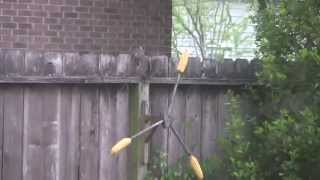 Squirrel Eating Corn On Spinning Wheel Feeder...  (watch The Squirrel In Hd!)