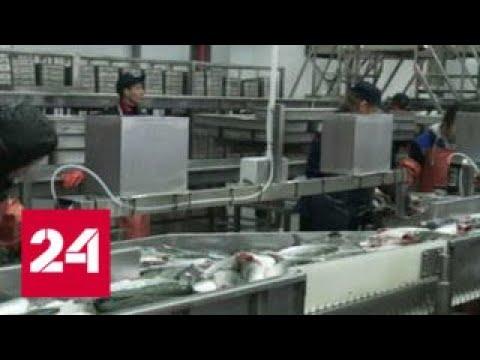 На Камчатке запустили новый завод по переработке рыбы - Россия 24