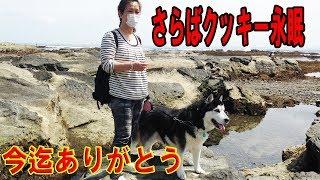 シベリアンハスキー犬クッキー永眠致しました 晩年は病に苦しみましたが...