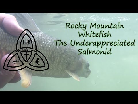 Fly Fishing | Rocky Mountain Whitefish | The Underappreciated Salmonid