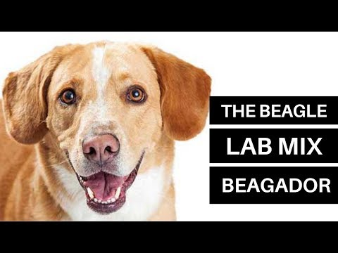 All About The Beagle Lab Mix (The Beagador)