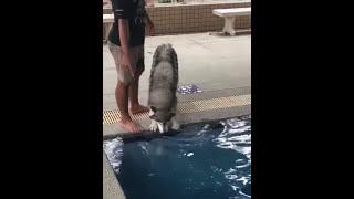 プールが怖くて悲鳴をあげるハスキー犬!自分より小さなワンコがスイスイ泳ぐのを見ると?