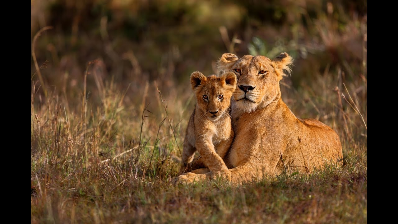 Suspected poacher mauled to death, eaten by pack of lions in South Africa