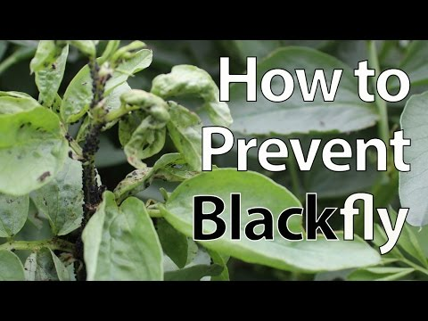 how to get rid of blackfly on nasturtiums