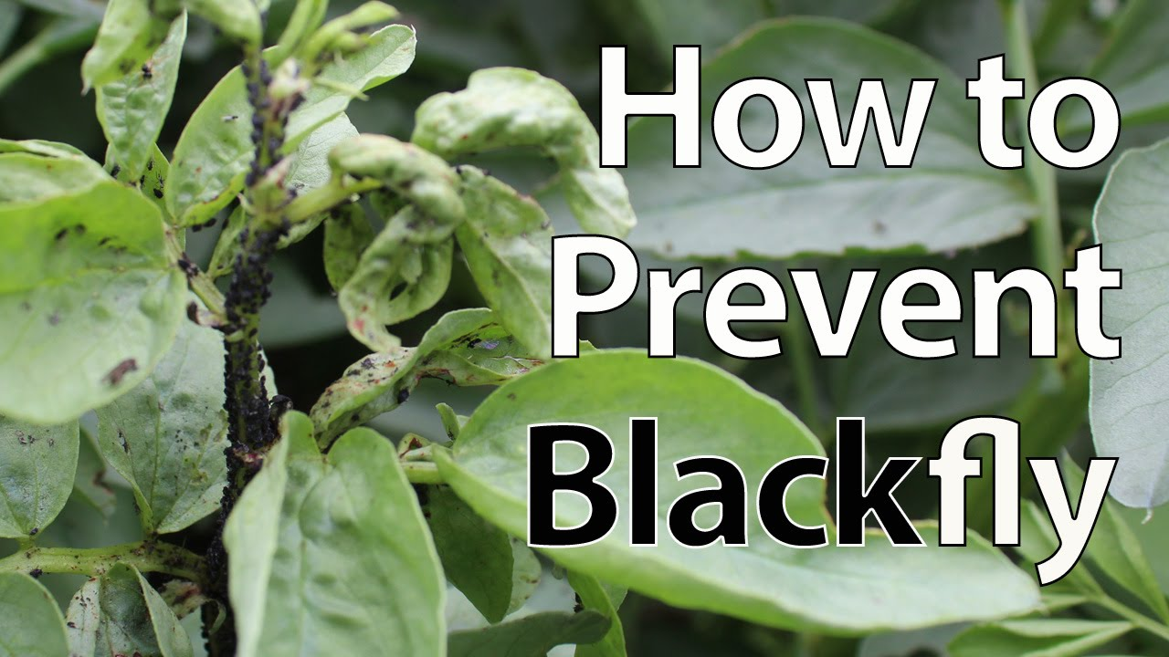 maxresdefault - How To Get Rid Of Blackfly On Runner Beans