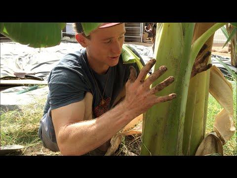 Transplanting & Planting a Banana Pup - Amazing!