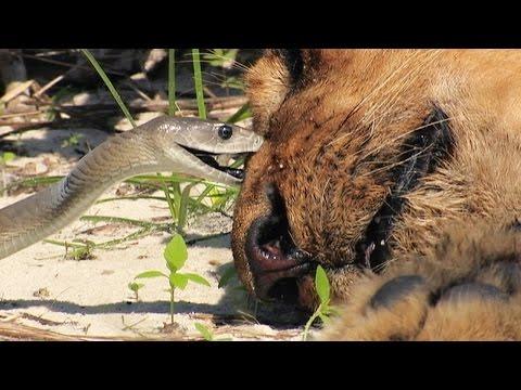 Black Mamba Bites Lion Stock Footage 01