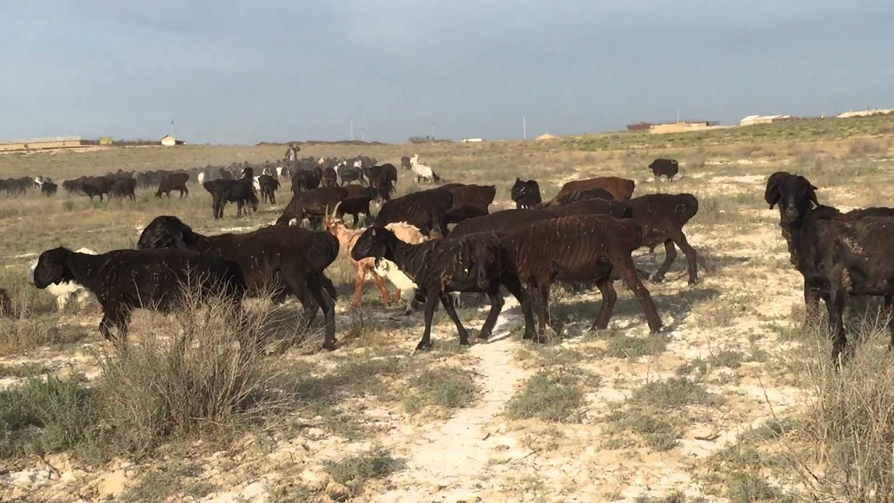 Allbiz ▻ крупнейший b2b рынок казахстана, договорные цены. Предложения о продаже и покупке овец не только в казахстане, но и во всем мире!