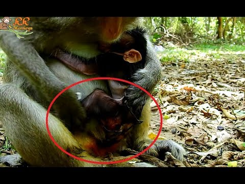 Welcome Newborn baby Monkey ! Just Born with yellow Ears & White Head.