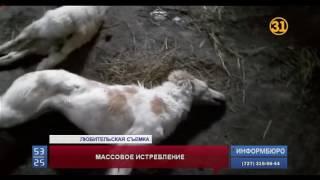 В Павлодарской области за неделю истребили более 20 собак редкой породы тазы