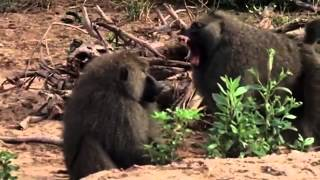 Lions Hunting Baboons nature Wild Africa