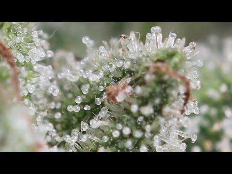 Marihuana Al Natural 14 Resumen temporada