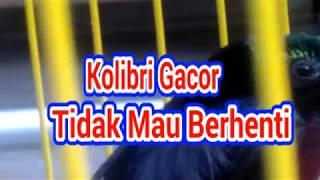 """Gambar cover Kolibri Ninja Ikut Gacor, """"Mendengar suara ini """""""
