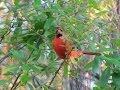 Northern Cardinal Calling - 4 Different Calls