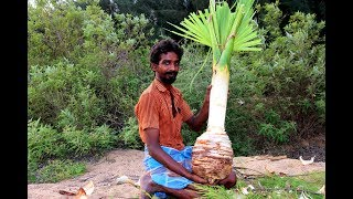 village boys take to palm rice in palm tree | pana soru | village food taste