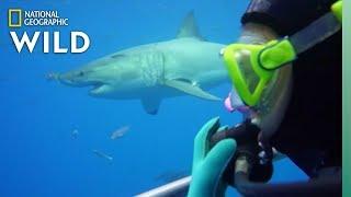 How Scientists Study Sharks Nat Geo Wild