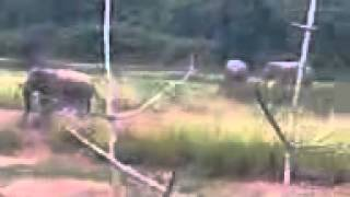 A herd of elephant near  Lalbazar Kalla, Barjora, Bankura low quality mobile video
