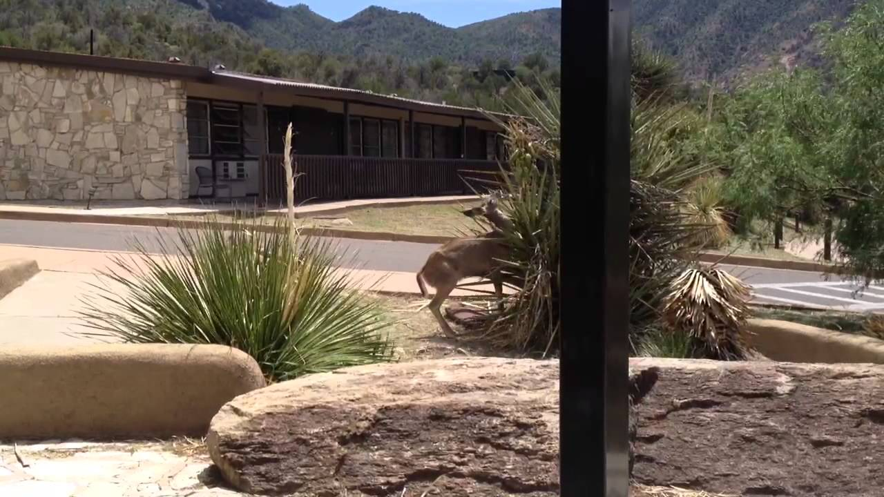 White-Tail Deer at Chisos Mountain Lodge - YouTube