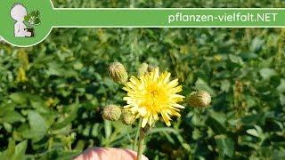 Acker-Gänsedistel - Ganze Pflanze - 28.07.18 (Sonchus arvensis) - Essbare Wildkräuter sammeln