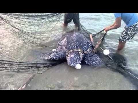 Sea Turtle Is Rescued From Fishing Net || ViralHog