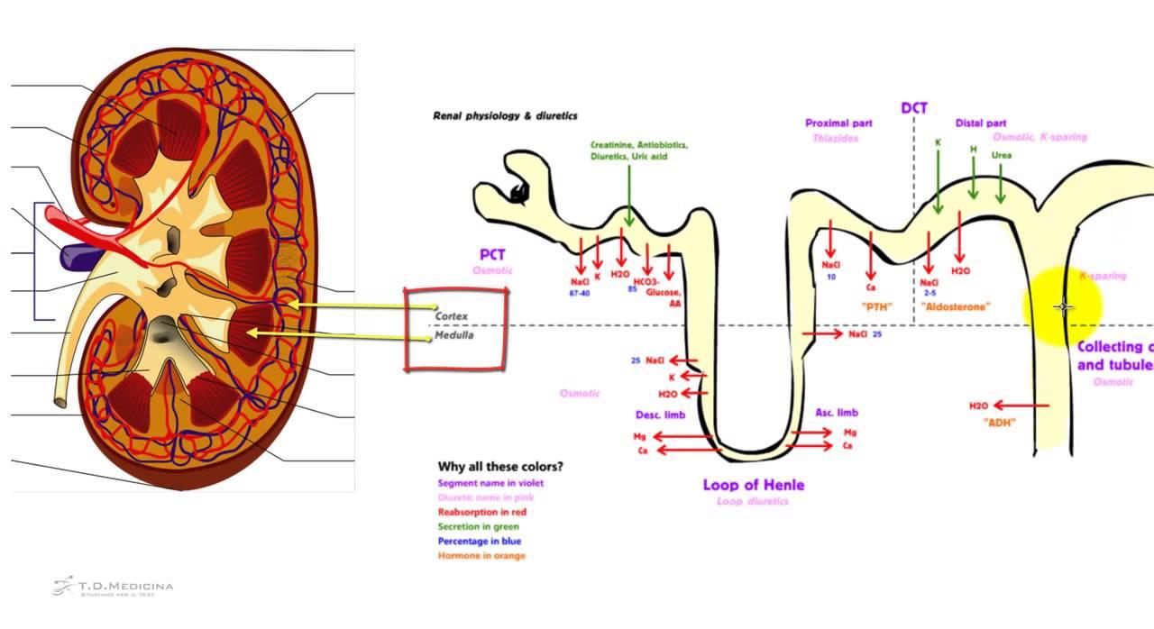 5 9 fisiologia renale il nefrone l 39 unit funzionale for Sistema di filtraggio per laghetto