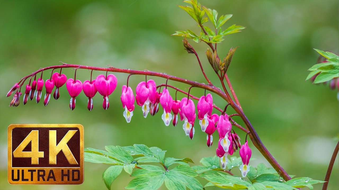 4k tender flowers scenery with relaxing rain sounds 3 hours