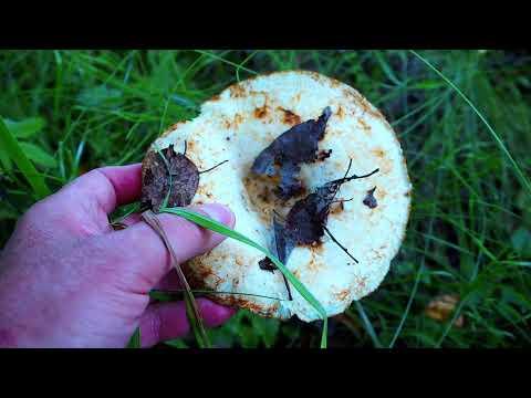Грибная обстановка на юге Подмосковья в середине августа. Грибные биотопы. Технология поиска грибов