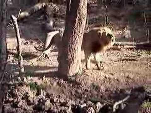 Roaring Male Lion - Lower Zambezi National Park, Zambia
