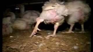 Vivre vite Mourrir jeune : l'élevage industriel de poulets