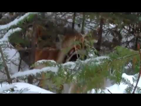 Maine Coyote Hunting | Coyote Hunting With Dogs/Hounds | Blackwater Outfitters Coyote Hunt
