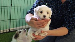 Coton Puppies For Sale - Kara 3/31/20
