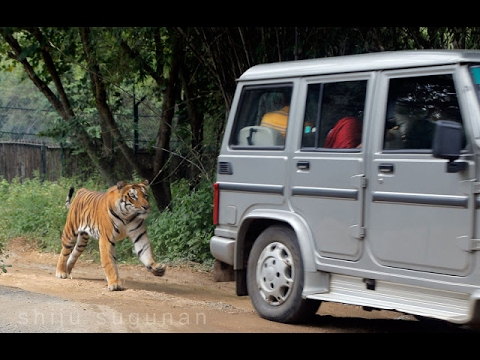 National Park tiger attack Bannerghatta in Bengaluru