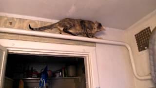 Ориентальная кошка - троллейбус