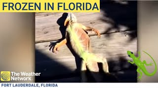 Video Frozen iguanas are falling from trees in Florida due to 'weather bomb' download MP3, 3GP, MP4, WEBM, AVI, FLV Januari 2018