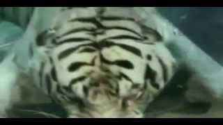 Under water tiger / tygrys pływa pod wodą :)