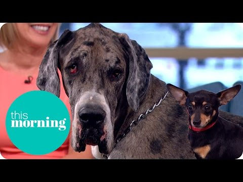 World's Tallest Dog Meets Britain's Smallest Dog! | This Morning