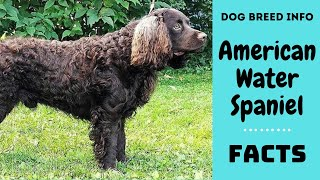 American Water Spaniel dog breed. All breed characteristics and facts about American Water Spaniel