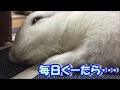 [うさぎ] 可愛い 子うさぎ ぐーたら お昼寝 (Rabbit)