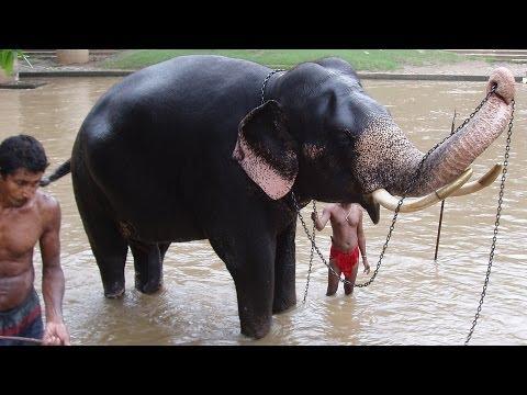 Rajah, Kataragama Temple Elephant, Washing in Manik Ganga & then Dressing Himself