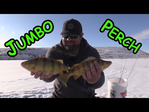Ice Fishing For JUMBO Perch!!