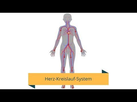 Das Herz-Kreislauf-System