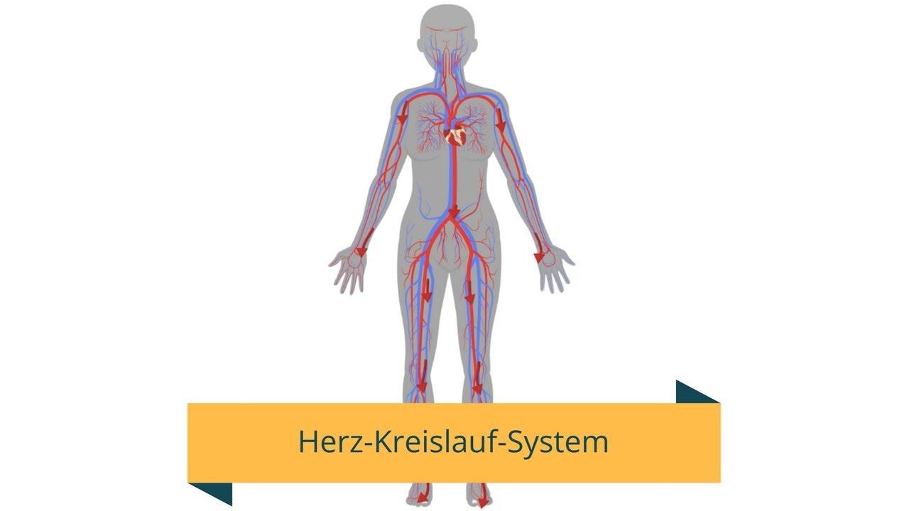 Tolle Herz Kreislauf System Teile Fotos - Physiologie Von ...