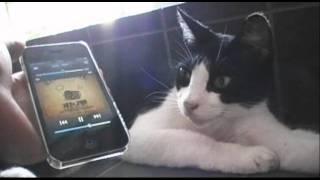 家の近所のネコにオトノ葉の新曲を聴いてもらいました。 iTunes http://...