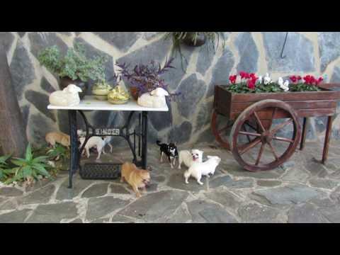 Corralet   Razas Perros Mini   Cachoros de Pomerania, Yorkshire, Caniche, Bichón Maltes, Chihuahua