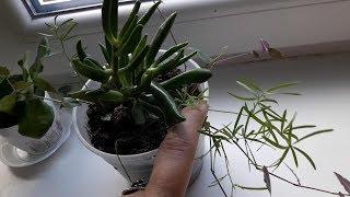 АСПАРАГУС - от посева до молодых растений.