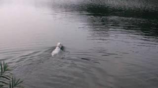 紀州犬リキ♂です。泳ぐのが好きです。