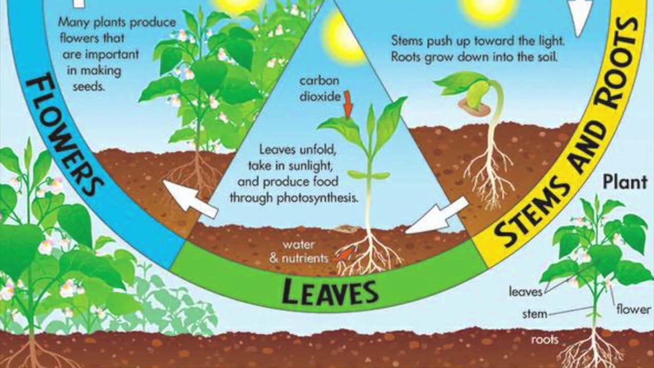 Bean Plant Life Cycle